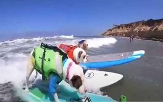 الصورة: الصورة: شاهد.. براعة الكلاب في ركوب الأمواج