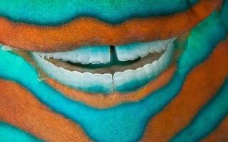 الصورة: الصورة: ابتسامة السمكة الببغائية