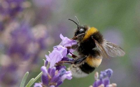 الصورة: الصورة: كيف يفتك النحل بخلايا السرطان؟