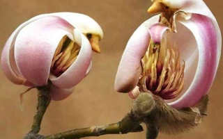 الصورة: الصورة: الجميلة ماغنوليا ليليفلورا.. عصفور أم زهرة؟
