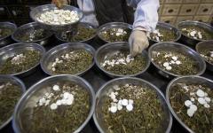 """الصورة: الصورة: """"الصحة العالمية"""" تقرّ إجراء اختبارات على أعشاب أفريقية لعلاج كورونا"""