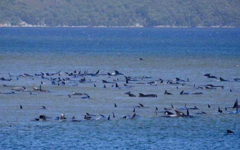 الصورة: الصورة: محاولات لإنقاذ 70 حوتاً علقوا في خليج تاسمانيا جنوب أستراليا