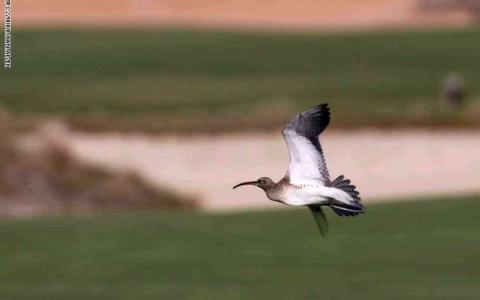 """الصورة: الصورة: رصد طائر """"ستيب ويمبرل"""" النادر جداً في شاطئ السعديات بأبوظبي"""