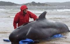 الصورة: الصورة: نفوق نحو 380 من الحيتان العالقة عند خليج تاسمانيا في أستراليا