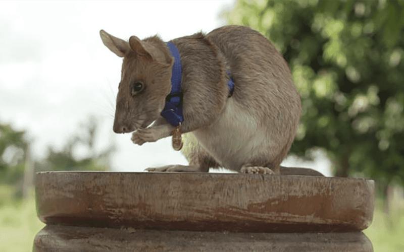 الصورة: الصورة: شاهد.. فأر أفريقي يحصل على ميدالية ذهبية مرموقة لمهارته الفريدة