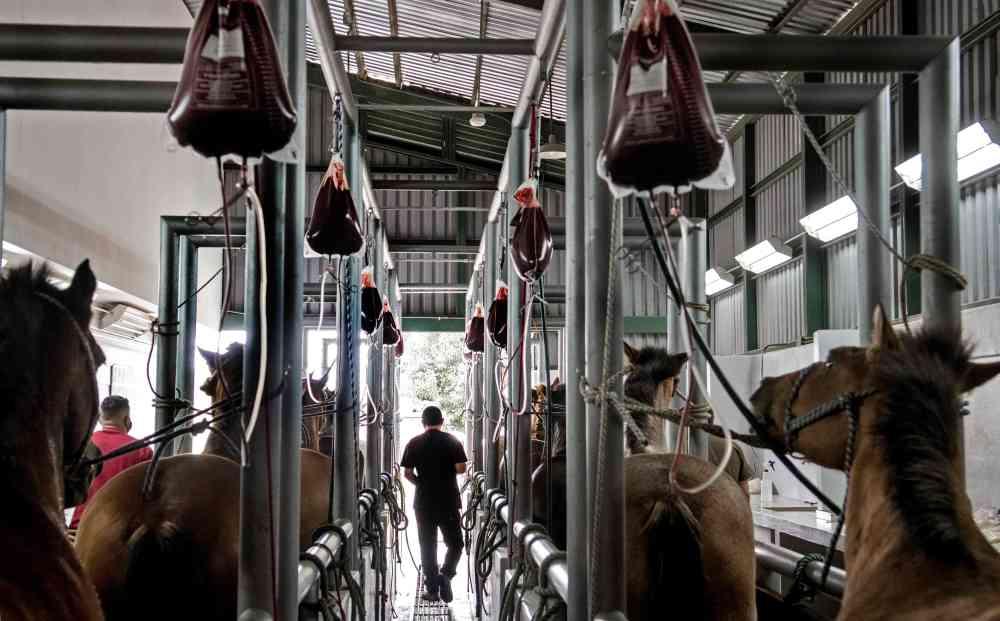 الصورة : أحصنة خلال سحب عينات من الدم في مختبر خاص بكوستاريكا / أ.ف.ب