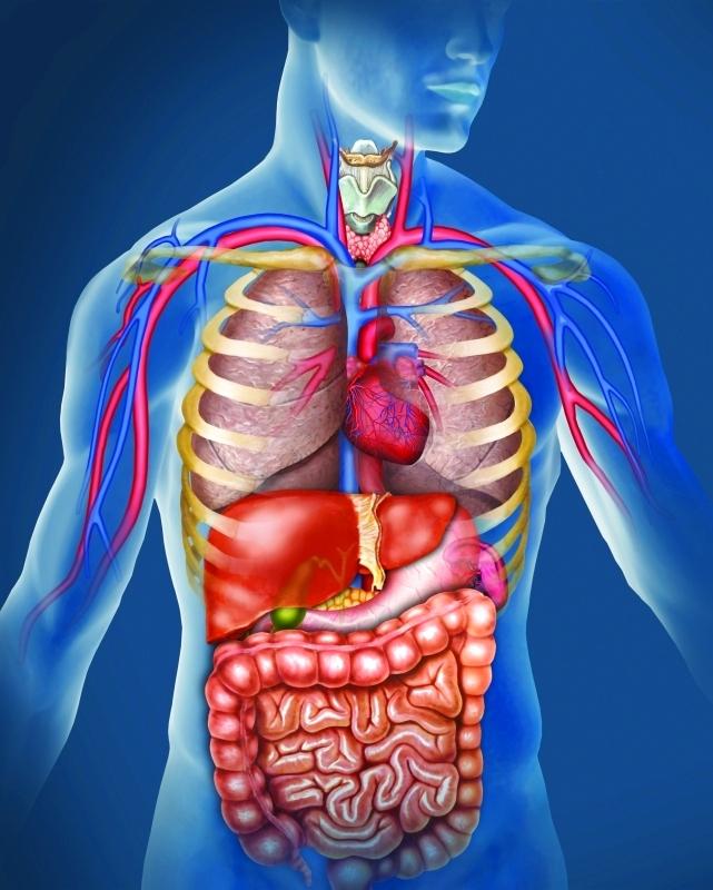 عدد الأعضاء في جسم الإنسان البيان الصحي حياة البيان