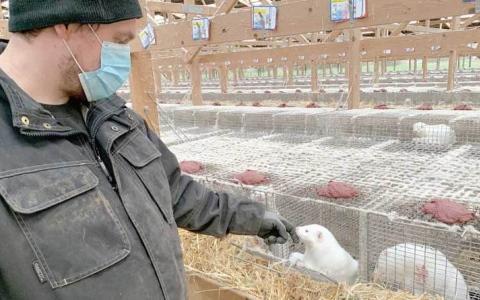 الصورة: الصورة: 6 دول رصدت فيروس كورونا في مزارع لتربية حيوان المنك