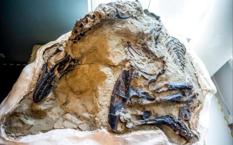 الصورة: الصورة: متحف يعرض ديناصورات متصارعة حجبت 14 عاماً