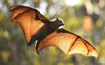 الصورة: الصورة: عالمة صينية تحذر من خفافيش تخفي فيروسات خطيرة من أسرة كورونا