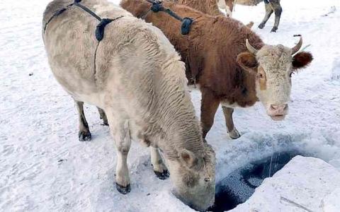 الصورة: الصورة: أغطية من الصوف والفرو لضروع الأبقار في ياقوتيا الروسية