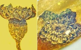 الصورة: الصورة: اكتشاف نوع جديد من الزهور في قطعة من العنبر عمرها 100 مليون سنة