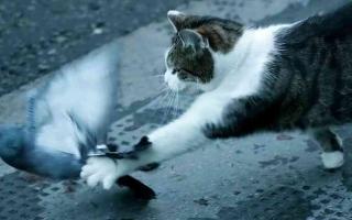 الصورة: الصورة: شاهد.. القط المسؤول عن صيد الفئران بمكتب جونسون يخفق في صيد حمامة