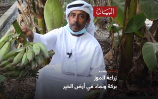 الصورة: الصورة: زراعة الموز بركة ونماء في أرض الخير