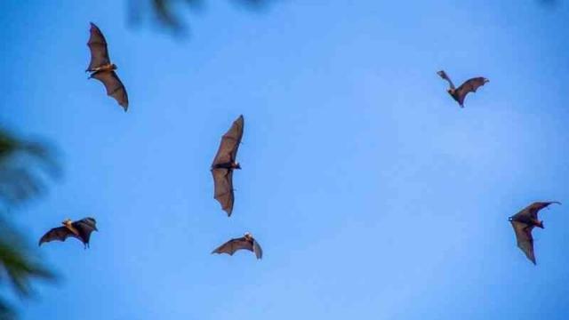 صورة ماذا تعرف عن فيروس نيباه القاتل الذي تنقله الخفافيش؟ – منوعات