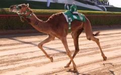 الصورة: الصورة: محمد بن راشد بن محمد بن راشد يشهد انطلاق مهرجان ولي عهد دبي للهجن