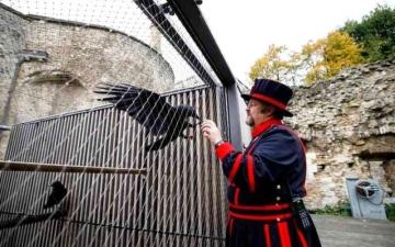 الصورة: الصورة: فقدان «ملكة غربان» برج لندن يثير المخاوف