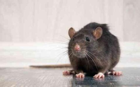 الصورة: الصورة: بالفيديو.. فأر في غرفة لاعبة تنس في الحجر الصحي