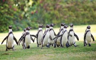 الصورة: الصورة: حديقة الحيوانات بالعين تطلق موكب البطاريق أمام الزوار