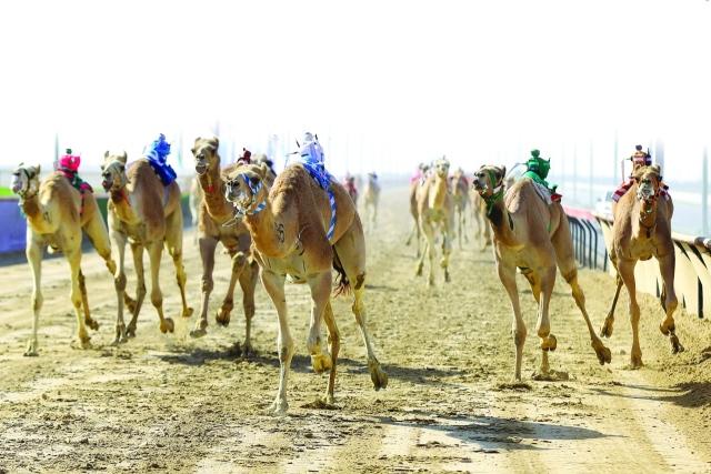 حمدان بن محمد  يشهد أشواط الرموز  لهجن القبائل في المرموم