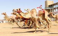 الصورة: الصورة: تألق الهجن الإماراتية بأشواط الإنتاج في «ختامي المرموم»