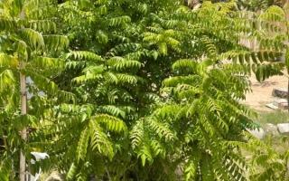 الصورة: الصورة: «كاري باتا».. شجرة التوابل العطرية
