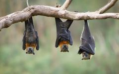 الصورة: الصورة: علماء يكتشفون فيروسات جديدة لدى الخفافيش في الصين
