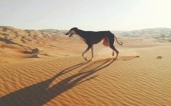 الصورة: الصورة: السلوقي الإماراتية أسرع كلاب على وجه الأرض
