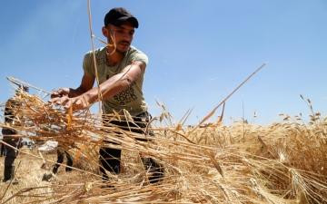 الصورة: الصورة: الجفاف في سوريا يعصف بـ«عام القمح»