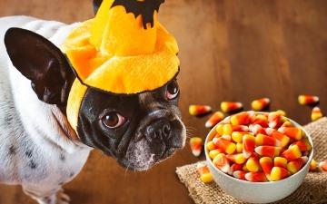 الصورة: الصورة: السكر الصناعي يمكن أن يؤذي الحيوانات الأليفة