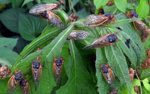 الصورة: الصورة: حشرات الزيز تنهي غزوتها الأمريكية... والموعد المقبل بعد 17 عاماً
