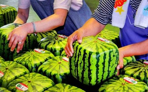 الصورة: الصورة: البطيخ المربع للزينة وليس صالحا للأكل