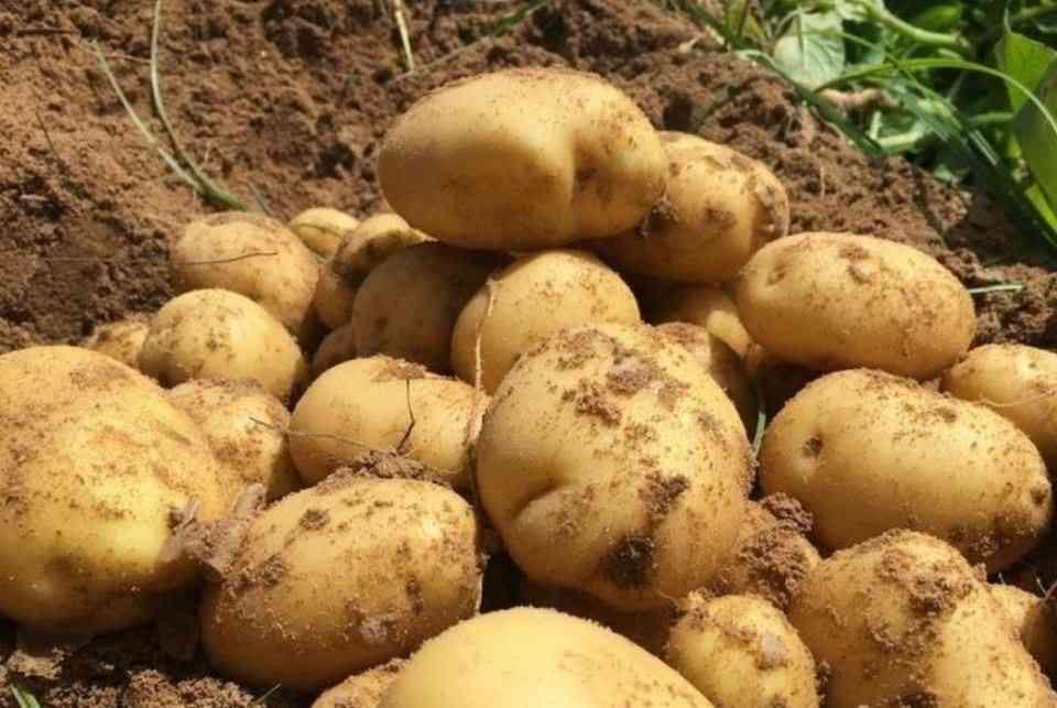 البطاطا.. نبات الشياطين وطعام الساحرات