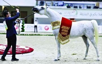 الصورة: الصورة: مربط دبي للخيول يكتسح بطولة الشارقة للسلالة المصرية